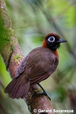 Chestnut-crested Antbird by Gerard Savaresse