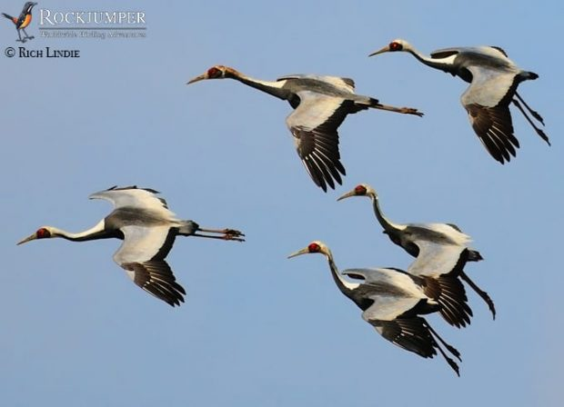 White-naped Cranes drop in for a landing.