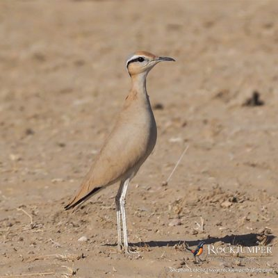 Cream-colored Courser by Stephan Lorenz
