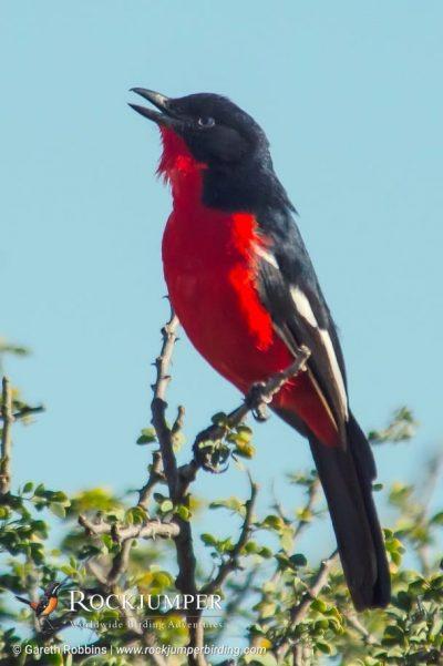 Crimson-breasted Shrike by Gareth Robbins