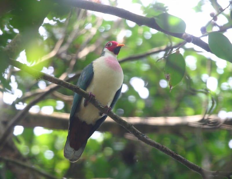 Dove, Jambu Fruit - male (1a) KV (M&B) 13_1