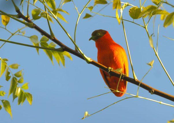 Orange Fruit Dove by David Hoddinott