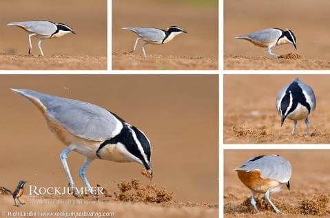Egyptian-Plover-comp-1