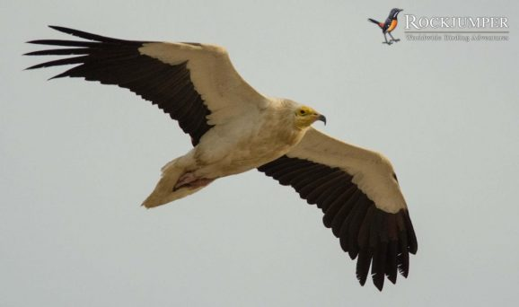 Egyptian Vulture by Forrest Rowland