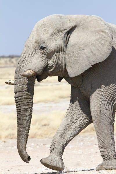 Elephant African Etosha Namibia AR