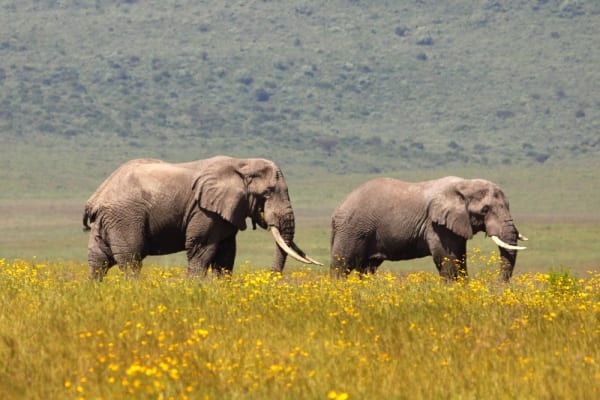 Only bull African Elephants reside in the Ngorongoro Crater