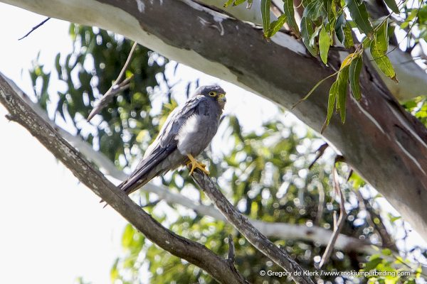 Sooty Falcon – Greg de Klerk