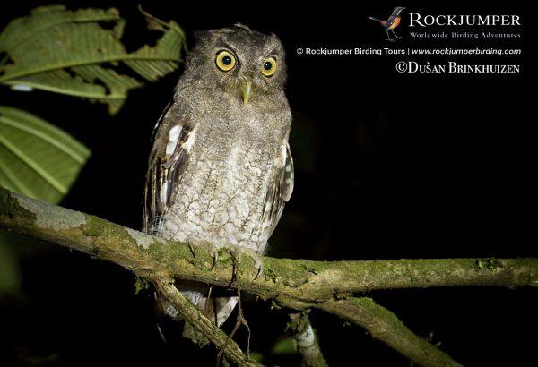 Foothill Screech-Owl
