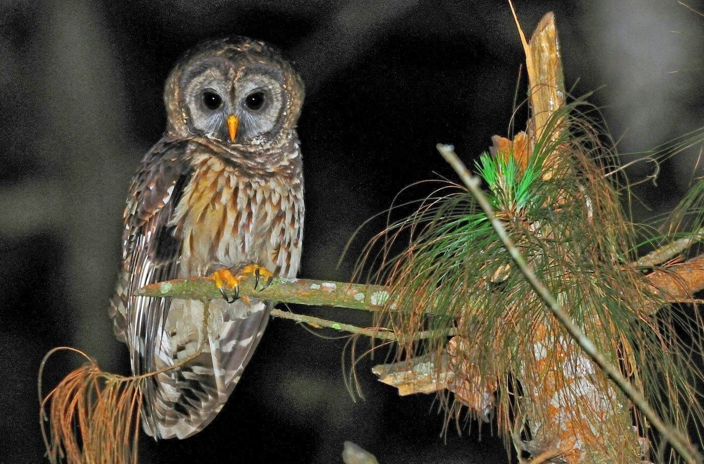 Fulvous Owl by Rich Lindie