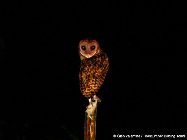 Golden Masked Owl by Glen Valentine