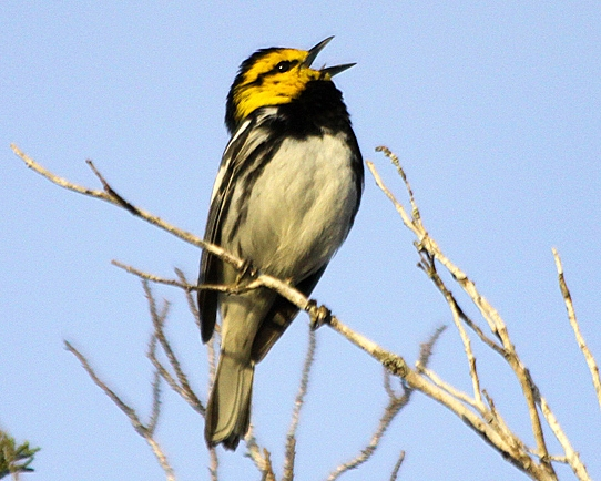 Golden-cheeked Warbler by David Shackelford