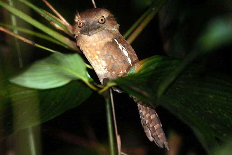 Gould's Frogmouth by Keith Valentine