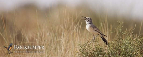 Long and lanky, the Greater Hoopoe-Lark has a wonderful set of piping whistles in its song