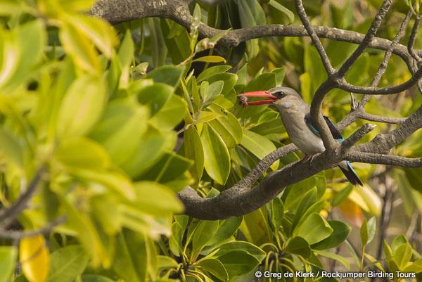 Mangrove Kingfisher by Greg de Klerk