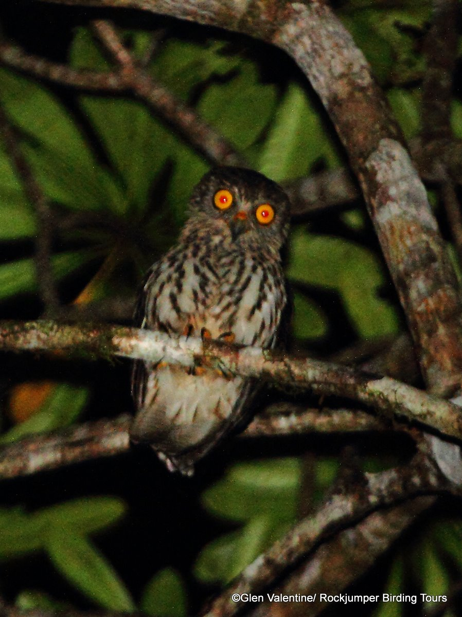 Papuan Hawk-Owl