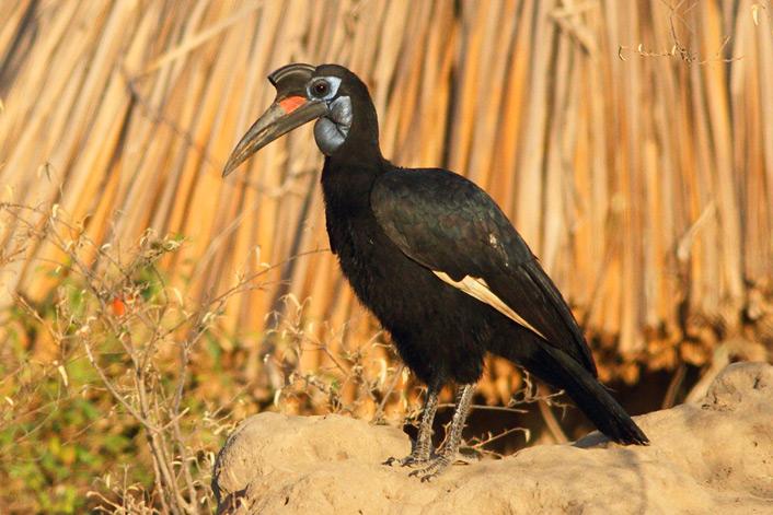 Hornbill,-Ground,-Abyssinian-5