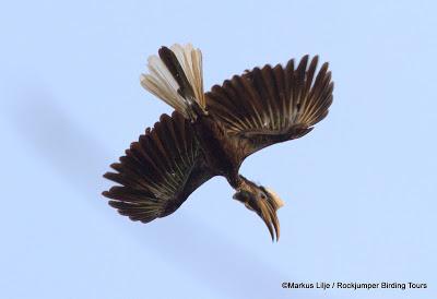 Yellow-casqued Wattled Hornbill by Markus Lilje