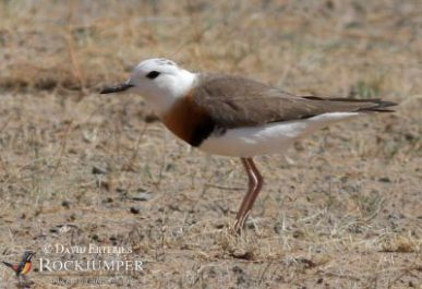 The ghostly Oriental Plover has a fantastic breeding display.