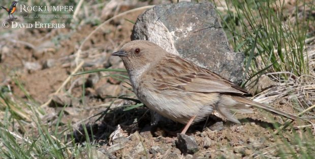 Kozlov's Accentor is a major target bird for birders in Mongolia.