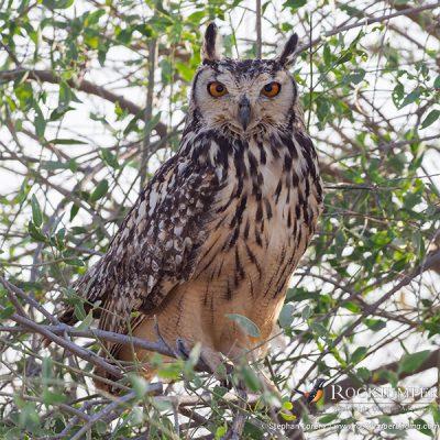 Indian Eagle-Owl by Stephan Lorenz