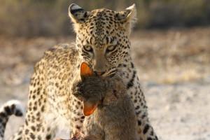 Leopard Kgalagadi Transfrontier NP SA AR-083