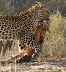 Leopard Kgalagadi Transfrontier NP SA AR-101