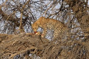 Leopard Kgalagadi Transfrontier NP SA AR-198