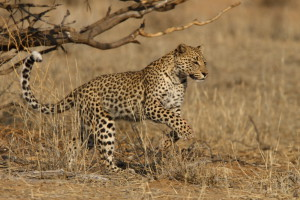 A Morning in a Kalahari Leopard's Life