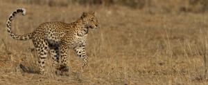 Leopard Kgalagadi Transfrontier NP SA AR-240