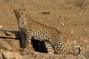 Leopard Kgalagadi Transfrontier NP SA AR-249
