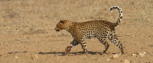 Leopard Kgalagadi Transfrontier NP SA AR-273