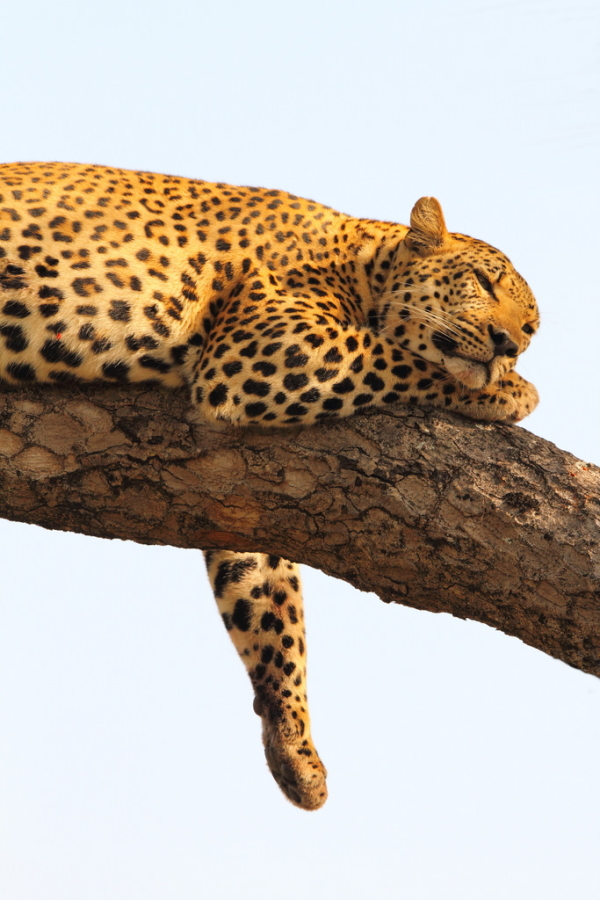 Leopards spend much of their day lounging in trees