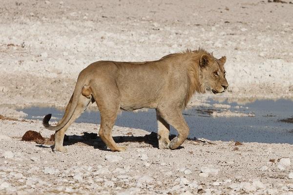 Lion Etosha Namibia AR