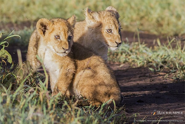 Lion cubs by George L. Armistead