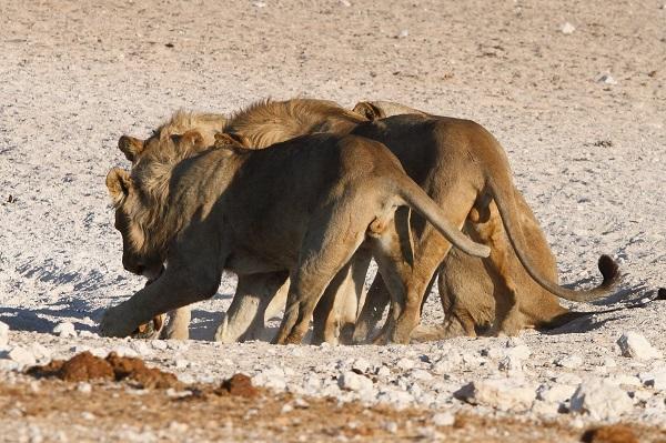 Jackal, Black-backed Etosha NP Namibia AR
