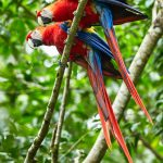 Scarlet Macaws by Adam Riley