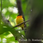 Orange-collared Manakin by Forrest Rowland