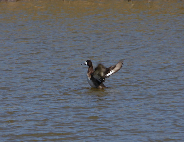 Lesser Scaup by Colin Valentine