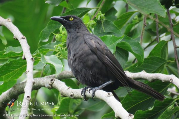 Micronesian Starling by Erik Forsyth