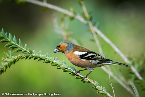 Common Chaffinch by Nelis Wolmarans
