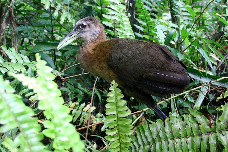 New Guinea Flightlss Rail by David Shackelford