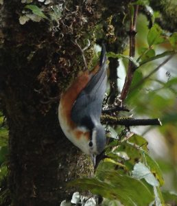 Endemic White-browed Nuthatch