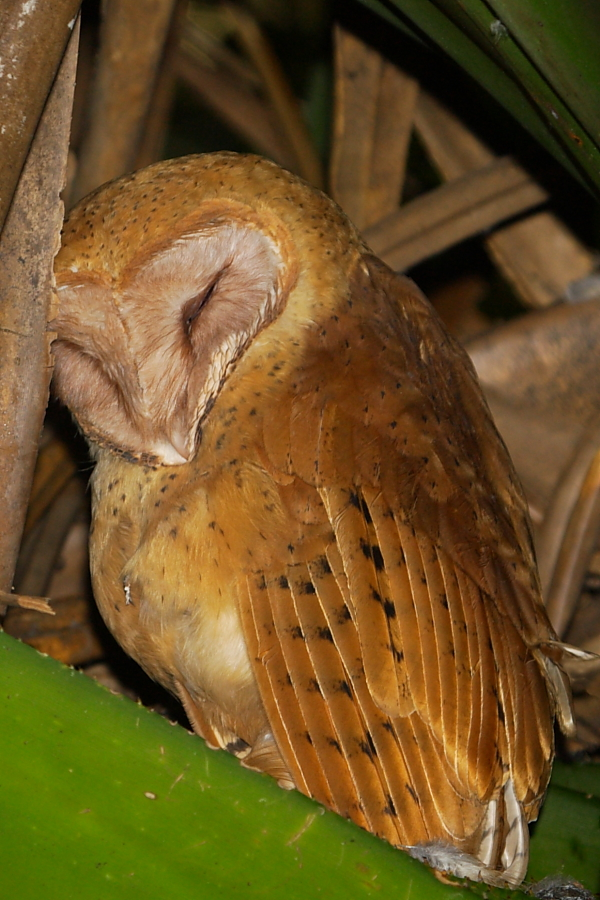 The mythical Red Owl on a day roost at Lake Bemanevika. Photo by Adam Riley