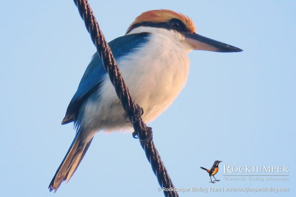 Palau Kingfisher by Erik Forsyth