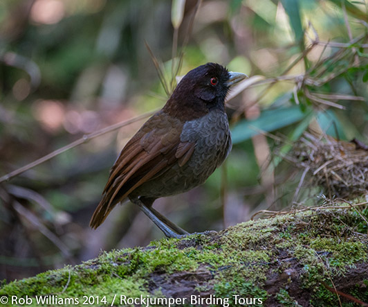 Pale-billed Antpitta by Rob Williams