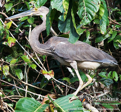Papua New Guinea Birding
