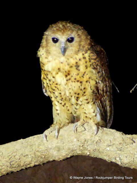 Pel's Fishing Owl by Wayne Jones