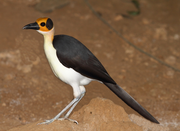 Picathartes – Africa's strangest birds