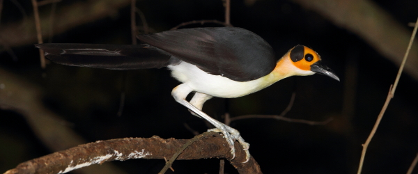 White-necked Picathartes about to leap from a liana, these birds are incredibly fast and agile. Photo by Adam Riley