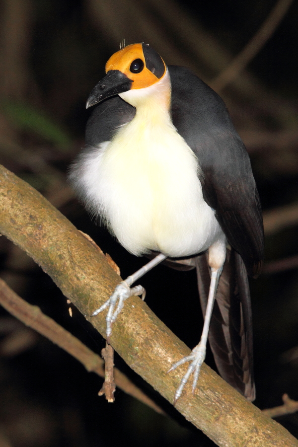 A preening White-necked Picathartes, note the filoplumes (hair-like feathers) on its otherwise bald head. Photo by Adam Riley